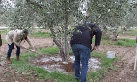 Ενσωμάτωση ζεόλιθου σε ελαιόδεντρα στο Εκκλησάκι Αγ. Αρσενίου - Γ. Παϊσίου στην Αλεξανδρούπολη