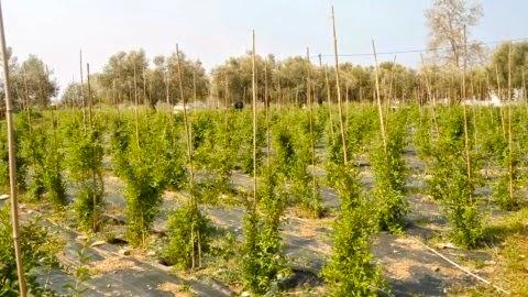 Ζεόλιθος σε ελαιόδεντρα, κερασιές, γκότζι μπέρι, Αλεξανδρούπολη [Φωτογραφίες]