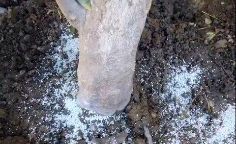Ζεόλιθος σε ροδακινιά και ελιά, Αραδίππου-Κύπρος