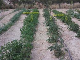 Ντομάτες με εφαρμογή φυσικού ζεόλιθου και χωρίς. [φωτογραφίες]