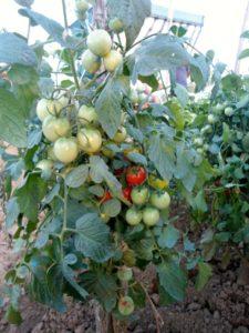 Ζεολιθικός δημοτικός λαχανόκηπος Αλεξανδρούπολης, 11/8/2014