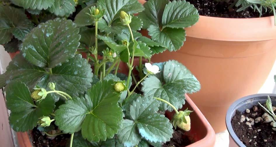 ζεόλιθος σε φράουλες | Zeolife.gr