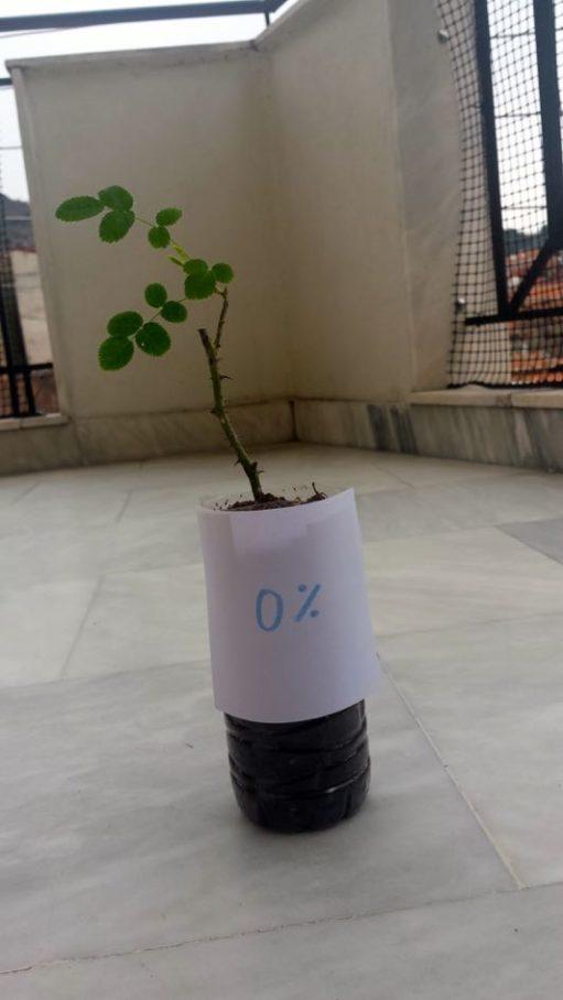 Εφαρμογή ζεόλιθου σε τριανταφυλλιές - Βέρτκας Χαρίλαος - Φλώρινα