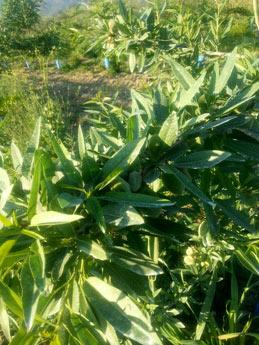 Καλλιέργεια Αμυγδαλιάς ποικιλίας Tuono με ζεόλιθο στη Λάρισα | Ζεόλιθος | Zeolife gr