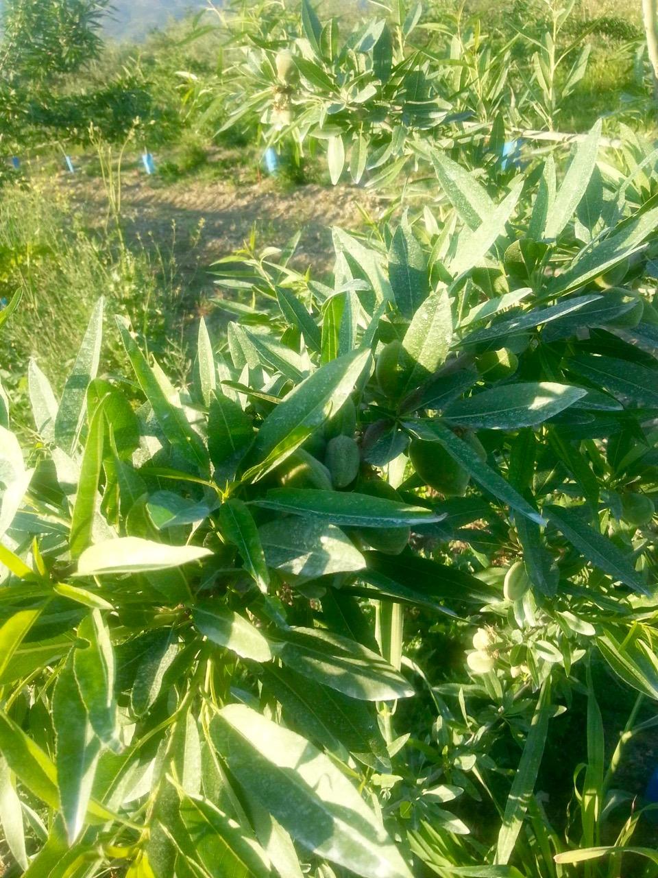 Καλλιέργεια Αμυγδαλιάς ποικιλίας Tuono με ζεόλιθο στη Λάρισα