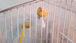 Ζεόλιθος στο χώρο διαβίωσης καναρινιού στη Νέα Ορεστιάδα