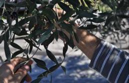 Συγκομιδή ζεο-ελαιοκάρπου, Πρόδρομος Μεσσηνίας