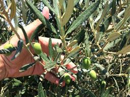 Zεόλιθος σε βιολογικά ελαιόδεντρα στο Μεσημέρι Θεσσαλονίκης [Video]