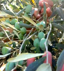 Χρήση ζεολιθου στην ελιά για 2η συνεχόμενη χρονιά [video]