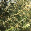 Ανθοφορία και καρπόδεση βιολογικών ελαιόδεντρων με ζεόλιθο [Video]
