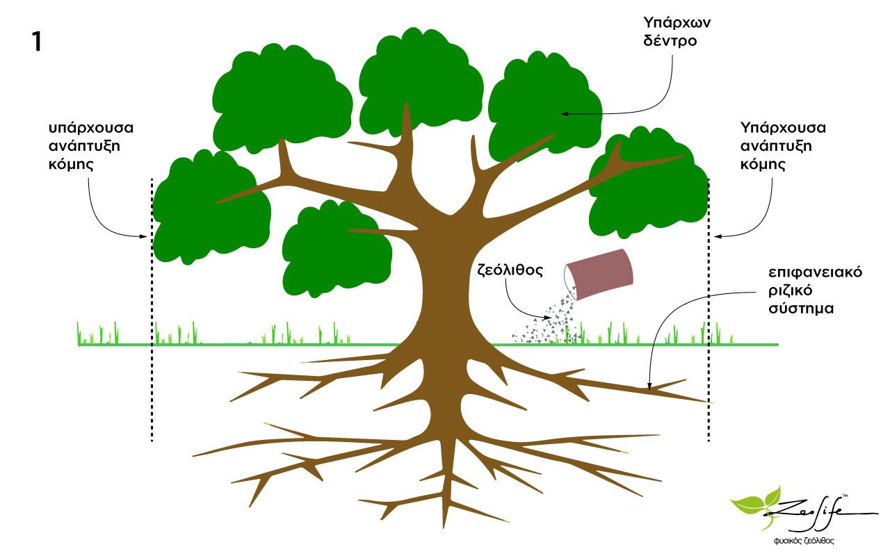 Ζεόλιθος σε υπάρχοντα δέντρα - ο σωστός τρόπος ενσωμάτωσης - επίπαση του ζεόλιθου περιμετρικά του κορμού μέχρι και τα όρια της κόμης
