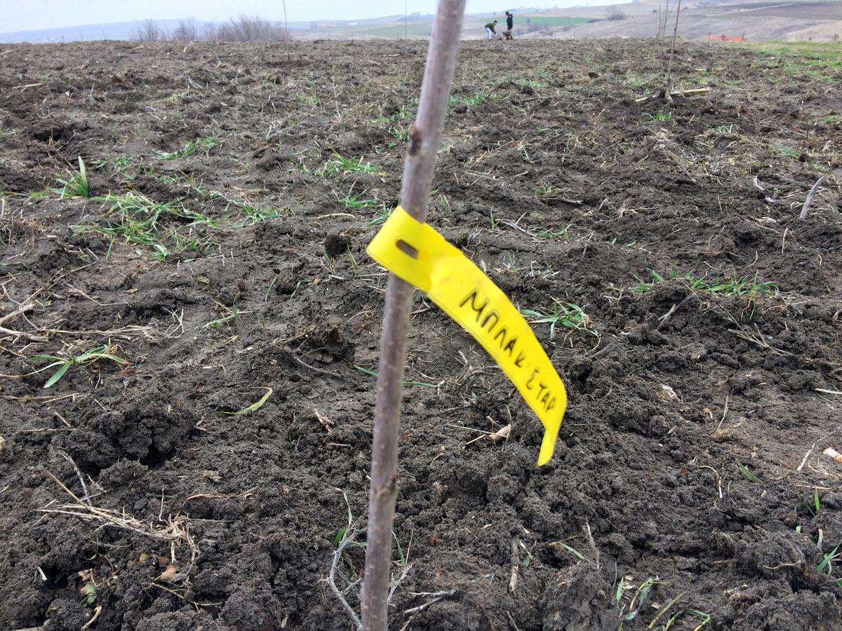 Ζεόλιθος στα κεράσια - Eνσωμάτωση σε νέα δέντρα [Video]
