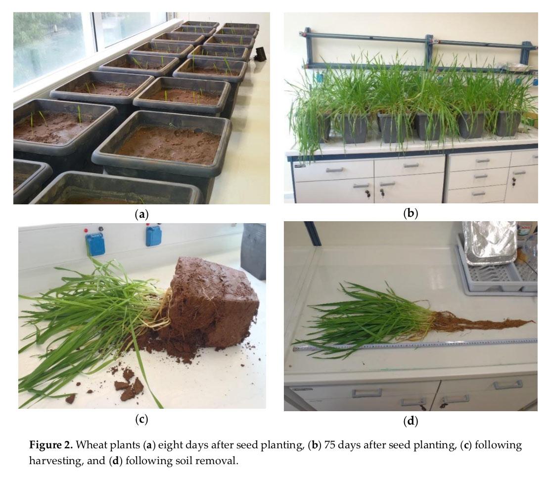 Φυτά σιταριού (a) οχτώ ημέρες μετά την σπορά, (b) 75 ημέρες μετά την σπορά, (c) κατά την συγκομιδή, (d) κατά την αφαίρεση του χώματος.