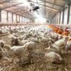 Ζεόλιθος σε κότες κρεατοπαραγωγής στα Γιάννενα