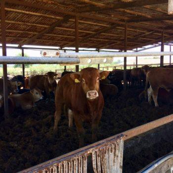 Ζεόλιθος σε χοίρους και βοοειδή στην Πρέβεζα [Φωτογραφίες]