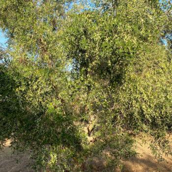 Αβοκάντο, λεμονιές, πορτοκαλιές δαμασκηνιές, καρυδιές, ροδιές και ελιές με ζεόλιθο και EcoPlant® [video]