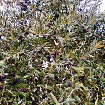 Οι ελιές του ζεόλιθου και του EcoPlant® στη Θάσο [video]